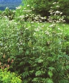 Лекарственные растения в медицине, фармакологии, гомеопатии и народной медицине