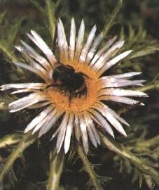 Колючник бесстебельный, корни колючника - Carlinae radix (ранее: Radix Carlinae).
