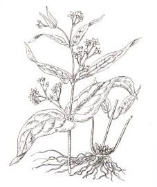 ластовень обыкновенный, ласточник, молочные стручки, стручная трава, корневище ластовня - Vincetoxici'rhizoma (ранее: Rhizoma Vincetoxici).