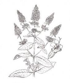 Мята перечная, благородная мята, английская мята, садовая мята, чайная мята, листья перечной мяты - Menthae piperitae folium (ранее: Folia Menthae piperitae), масло перечной мяты - Menthae piperitae aetheroleum (ранее: Oleum Menthae piperitae).
