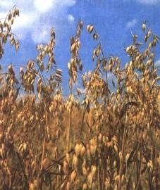 Эвкалипт, листья эвкалипта - Eucalypti folium (ранее: Folia Eucalypti), эвкалиптовое масло - Eucalypti aetheroleum (ранее: Oleum Eucalypti).
