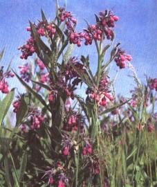 Окопник лекарственный, Аптечное наименование: корень окопника - Symphyti radix (ранее: Radix Symphyti).