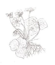 Печеночница благородная, перелеска, печеночная трава. Аптечное наименование: трава печеночницы - Hepaticae herba (ранее: Herba Hepaticae).
