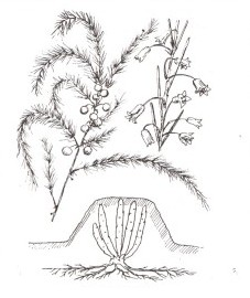 Спаржа аптечная, корневище спаржи - Asparagi rhizoma (ранее: Radix Asparagi).