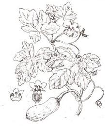 Тыква обыкновенная, семена тыквы - Cucurbitae semen (ранее: Semen Cucurbitae).