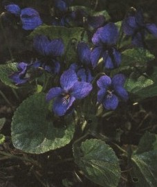 Фиалка душистая, трава фиалки душистой - Violae odoratae herba (ранее: Herba Violae odoratae).
