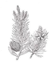 Хвойные деревья, лапник, живица (смола). Oleum Pini - Oleum Pinipumilionis - Oleum Terebinthinae - Terebinthinae и другие