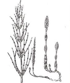 Хвощ полевой, метелка, кошачий хвост, конский хвост, швабра-трава, оловянная трава. трава хвоща - Equiseti herba (ранее: Herba Equiseti).