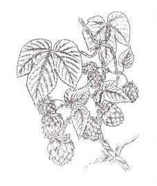 Хмель обыкновенный, пивной хмель, хмельной цвет, хмельная шишка. шишки хмеля - Lupuli strobulus (ранее: Flores Humuli lupuli), железки хмеля - Lupuli glandula (ранее: Glandulae Lupuli).
