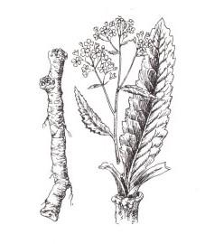 Хрен обыкновенный,  крестьянская горчица, мясная трава, перечный корень, лесная редька. корень хрена - Armoraciac radix (ранее: Radix Armoraciae).