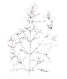 Чабер садовый, трава чабера - Saturejae hcrba (ранее: Herba Saturejae), эфирное масло чабера - Saturejae aetheroleum (ранее: Oleum Saturejae).