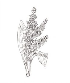Чемерица белая, вшивая трава.  корневище чемерицы - Veratri rhizoma (ранее: Rhizoma Veratri).