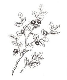 Черника обыкновенная, голубая ягода, вороний глаз, черная ягода, росяная ягода. плоды черники - Myrtilli fructus (ранее: Fractus Myrtilli), листья черники - Myrtilli folium (ранее: Folia Myrtilli).