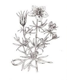 Чернушка посевная, черный кориандр, черный тмин, чернуха.  семена чернушки - Nigellae semen (ранее: Semen Nigellae).