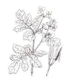 Чистотел большой, желтая трава, золотая трава, чистящая трава, ласточкина трава, чертово молоко, ведьмина трава, бородавкина трава. трава чистотела - Chelidonii herba (ранее: Heiba Chelidonii), корень чистотела - Chelidonii radix (ранее: Radix Chelidonii).