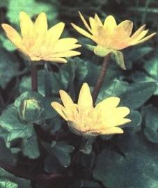 Чистяк весенний, масляный цвет, ранний салат, ядовитый лист. трава чистяка - Ranunculi ficariae herba (ранее: Herba Ranunculi ficariae).
