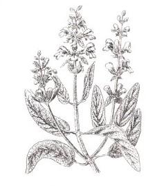 Шалфей лекарственный, благородный шалфей, королевский шалфей, крестовый шалфей, салатный лист. листья шалфея - Salviae folium (ранее: Folia Salviae), шалфейное масло - Salviae aetheroleum (ранее: Oleum Salviae).