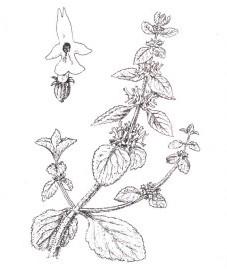 Шандра обыкновенная, постенная шандра, белая шандра. трава шандры - Marrobii herba (ранее: Herba Marrubii).