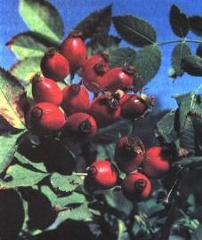 Шиповник собачий, дикая роза. шиповник с семенами - Cynosbati fructus cum semine (ранее: Fructus Cynosbati cum semine), шиповник без семян - Cynosbati fructus sine semine (ранее: Fructus Cynosbati sine semine), семена шиповника - Cynosbati semen (ранее: Semen Cynosbati).
