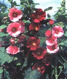 Шток-роза розовая, цветки шток-розы - Malvae arboreae flos (ранее: Flores Malvae arboreae).