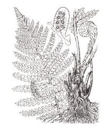 Щитовник мужской, или мужской папоротник, корневище мужского папоротника - Filicis rhizoma (ранее: Rhizoma Filicis).