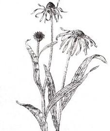 Эхинацея, трава эхинацеи - Echinaceae herba (ранее: Herba Echinaceae), корень эхинацеи - Echinaceae radix (ранее: Radix Echinaceae).