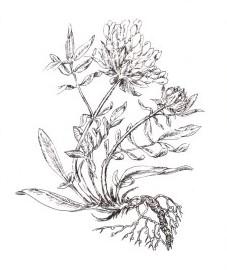 Язвенник целебный, аптечный клевер, бородчатый клевер, златоглав, раневая трава.  цветки язвенника - Anthyllidis vulnerariae flos (ранее: Flores Anthyllidis vulnerariae).
