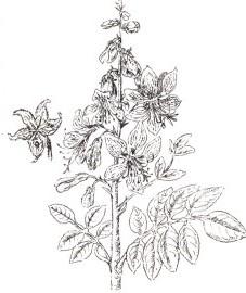 Ясенец белый,  трава ясенца - Dictamni heiba (ранее: Herba Dictamni), корни ясенца - Dictamni radix (ранее: Radix Dictamni).