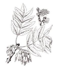 Ясень обыкновенный, козье дерево.  листья ясеня - Fraxini folium (ранее: Folia Fraxini).