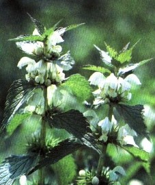 Яснотка белая, глухая крапива, кукушкина крапива, мертвая крапива, белая крапива. цветки белой яснотки - Lamii albi flos (ранее: Flores Lamii albi).