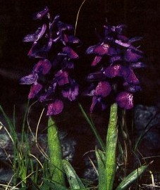 Ятрышник дремлик,  Ивановы руки, орхидея. клубни ятрышника - Salep tuber (ранее: Tubera Salep).