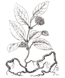 Истод сенега,  корень сенеги - Senegae radix (ранее: Radix Senegae), экстракт сенеги - Senegae extractum (ранее: Extractum Senegae), сироп сенеги - Senegae sirupus (ранее: Sirup us Senegae).