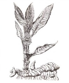 корневище куркумы - Curcumae longae rhizoma (ранее: Rhizoma Curcumae longae).