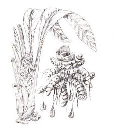 Куркума яванская, или яванский желтый корень, орневище куркумы яванской - Curcumae xanthorrhizae rhizoma (ранее: Rhizoma Curcumae xanthorrhizae), а также Temoe lawak.
