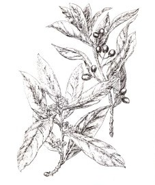 Лавр благородный, плоды лавра - Lauri fructus (ранее: Fructus Lauri), лавровое масло - Lauri oleum (ранее: Oleum Lauri), лавровый лист - Lauri folium (ранее: Folia Lauri).