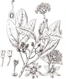 Сассафрас, древесина (корня) сассафраса - Sassafras lignum (ранее: Lignum Sassafras), сассафрасовое масло - Sassafras aetheroleum (ранее: Oleum Sassafras).