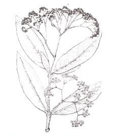 Харонга, кора харонги - Harongae cortex (ранее: Cortex Harongae), листья харонги - Harongae folium (ранее: Folia Harongae).