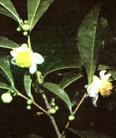 Чай китайский,  листья черного чая - Theae nigrae folium (ранее: Folia Theae nigrae).