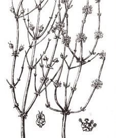 Эфедра, трава эфедры - Ephedrae heiba (ранее: Herba Ephedrae).