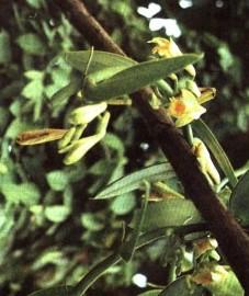 Ваниль, собранные незрелыми и ферментированные плоды ванили - Vanillae fructus (ранее: Fructus Vanillae).