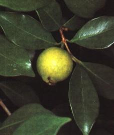 Гуаява, или дерево дьямбу, листья дьямбу - D1ambu folium (ранее: Folia D1ambu).