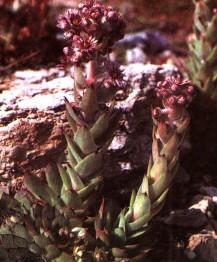 Молодило кровельное, кровельник, громовая трава, домашний лук.трава молодила - Sempervivi lectori herba (ранее: Herba Sempervivi lectori).