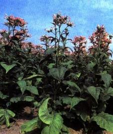 Табак настоящий, или виргинский, листья табака - Nicotianae folium (ранее: Folia Nicotianae).