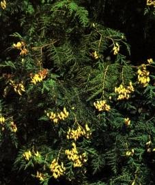 Туя западная, веточки туи - Thujae herba (ранее: Summitates Thujae).