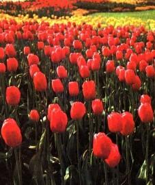 Тюльпан Геснера, луковицы тюльпанов - Tulipae bulbus (ранее: Bulbus Tulipae).