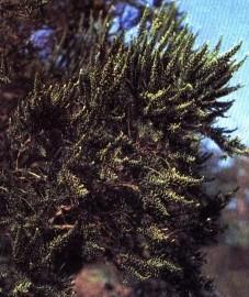 Фабиана, верхушки ветвей фабианы - Fabianae herba (ранее: Summitates Fabianae, Herba Pichi-Pichi).