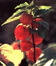 Физалис, дутая вишня, еврейская вишня. плоды физалиса - Alkekengi fructus (ранее: Fructus Alkekengi).