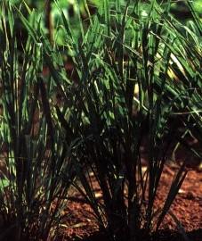 Цитронелловая трава, цитронелловое масло - Citronellae aetheroleum (ранее: Oleum Citronellae).