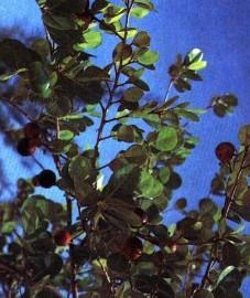 Чилибуха рвотная, или рвотный орех, семена рвотного ореха - Strychni semen (ранее: Semen Strychni).